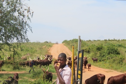 Lonh-horned cattle and their herder