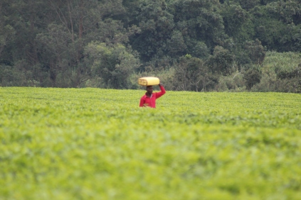 A plantation worker carrying a jerry can