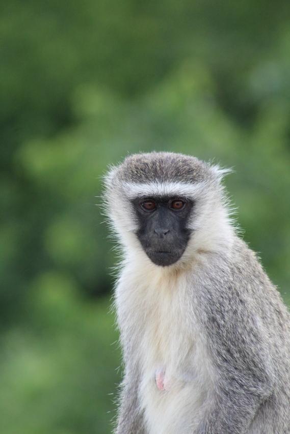 A vervet monkey with an attitude